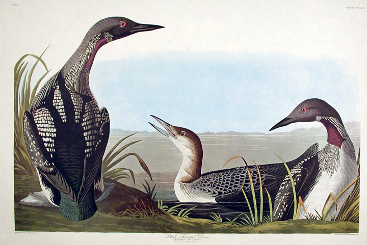 "Black-throated Diver. From ""The Birds of America"" (Amsterdam Edition). John James AUDUBON."