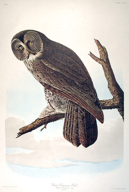 "Great Cinereous Owl. From ""The Birds of America"" (Amsterdam Edition). John James AUDUBON."