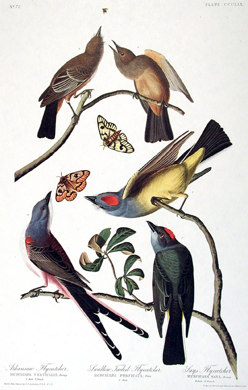 "Arkansaw Flycatcher, Swallow-tailed Flycatcher, Says Flycatcher. From ""The Birds of America"" (Amsterdam Edition). John James AUDUBON."