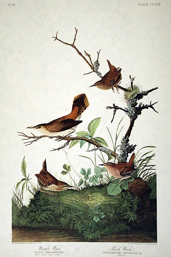 "Winter Wren, Rock Wren. From ""The Birds of America"" (Amsterdam Edition). John James AUDUBON."