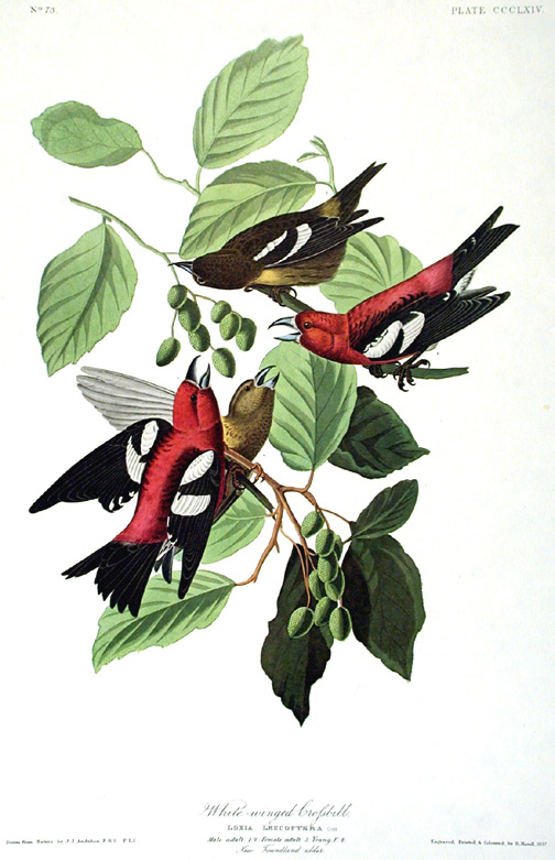 "White-winged Crossbill. From ""The Birds of America"" (Amsterdam Edition). John James AUDUBON."