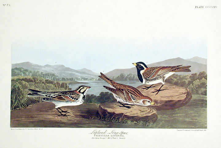 "Lapland Long-Spur. From ""The Birds of America"" (Amsterdam Edition). John James AUDUBON."