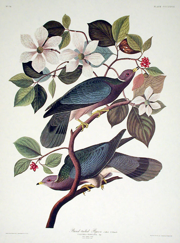 "Band-tailed Pigeon. From ""The Birds of America"" (Amsterdam Edition). John James AUDUBON."