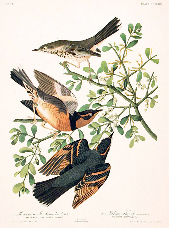 Mountain Mocking Bird Varied Thrush From The Birds Of America Amsterdam Edition John James Audubon