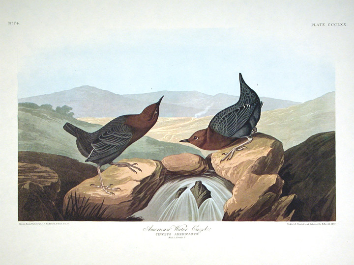 "American Water Ouzel. From ""The Birds of America"" (Amsterdam Edition). John James AUDUBON."