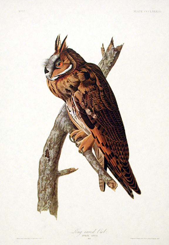 "Long-eared Owl. From ""The Birds of America"" (Amsterdam Edition). John James AUDUBON."