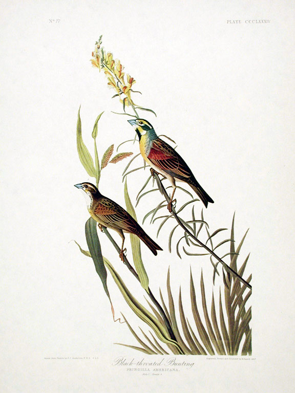 "Black-throated Bunting. From ""The Birds of America"" (Amsterdam Edition). John James AUDUBON."