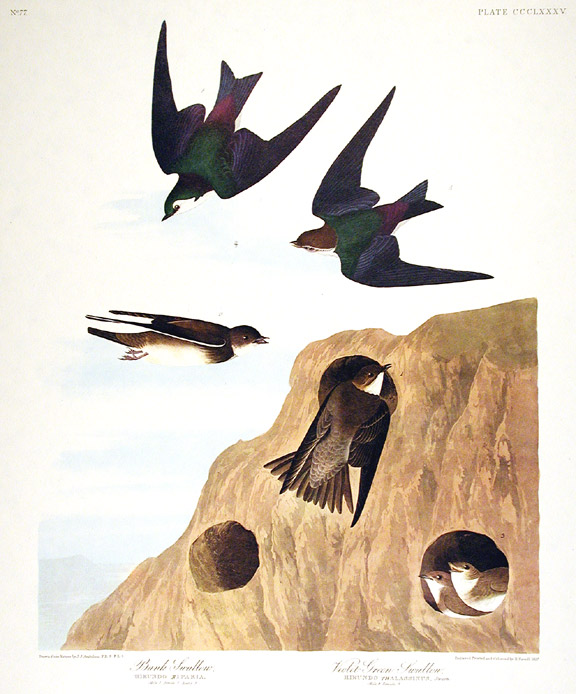 "Bank Swallow, Violet-Green Swallow. From ""The Birds of America"" (Amsterdam Edition). John James AUDUBON."