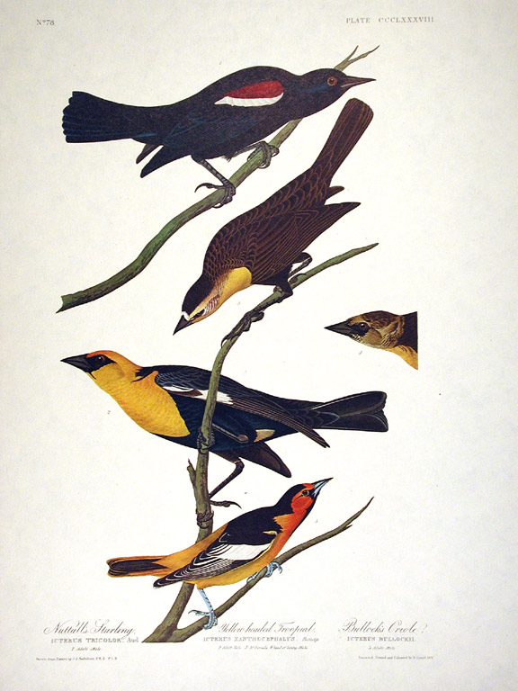 "Nuttall's Starling, Yellow-headed Troopial, Bullock's Oriole. From ""The Birds of America"" (Amsterdam Edition). John James AUDUBON."