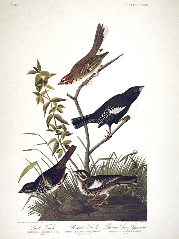 "Lark Finch, Prairie Finch, Brown Song Sparrow. From ""The Birds of America"" (Amsterdam Edition). John James AUDUBON."