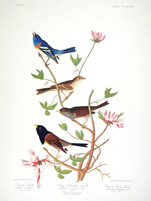 "Lazuli Finch, Clay-coloured Finch, Oregon Snow Finch. From ""The Birds of America"" (Amsterdam Edition). John James AUDUBON."