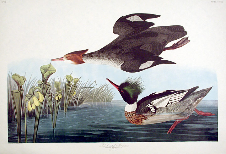 "Red-breasted Merganser, Horned-billed Guillemot. From ""The Birds of America"" (Amsterdam Edition). John James AUDUBON."