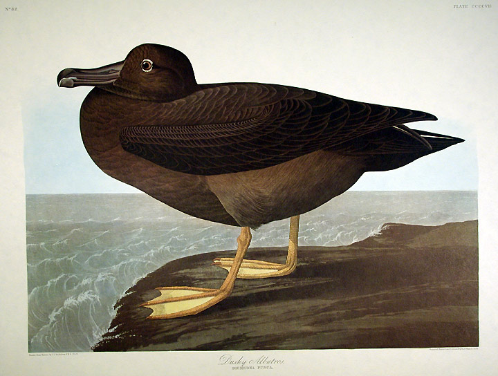 "Dusky Albatros. From ""The Birds of America"" (Amsterdam Edition). John James AUDUBON."