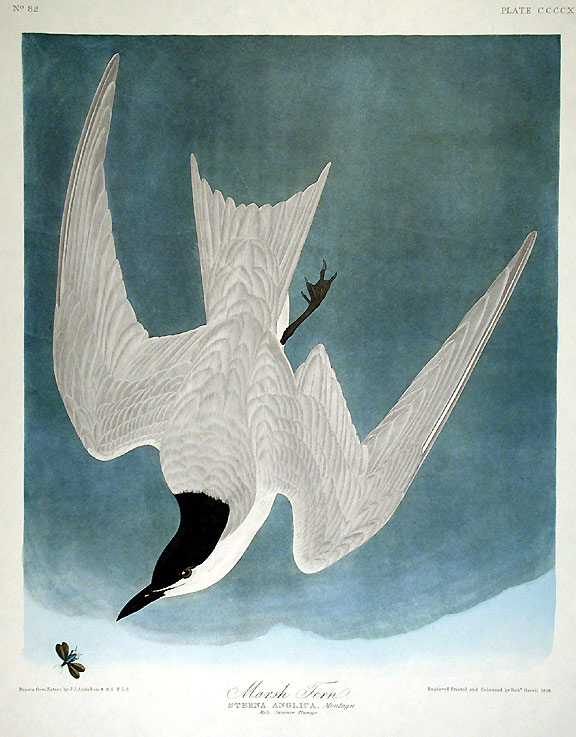 "Marsh Tern. From ""The Birds of America"" (Amsterdam Edition). John James AUDUBON."
