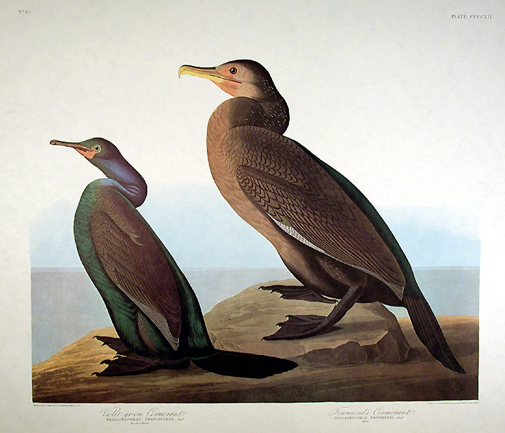 "Violet Green Cormorant, Townsend's Cormorant. From ""The Birds of America"" (Amsterdam Edition). John James AUDUBON."