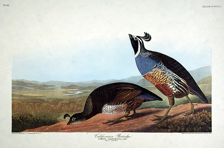 "Californian Partridge. From ""The Birds of America"" (Amsterdam Edition). John James AUDUBON."