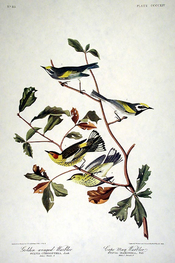 "Golden-winged Warbler, Cape May Warbler. From ""The Birds of America"" (Amsterdam Edition). John James AUDUBON."