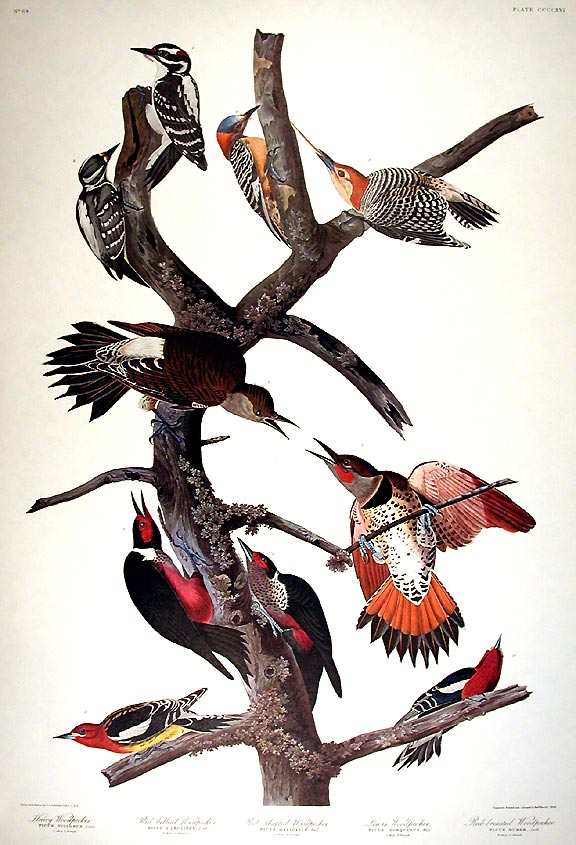 "Hairy Woodpecker, Red-bellied Woodpecker, Red-shafted Woodpecker, Lewis Woodpecker, Red-breasted Woodpecker. From ""The Birds of America"" (Amsterdam Edition). John James AUDUBON."