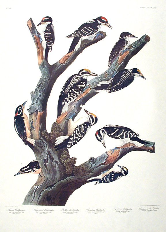 "Maria's Woodpecker, Three-toed Woodpecker, Phillips' Woodpecker, Canadian Woodpecker, Harris's Woodpecker, Audubon's Woodpecker. From ""The Birds of America"" (Amsterdam Edition). John James AUDUBON."