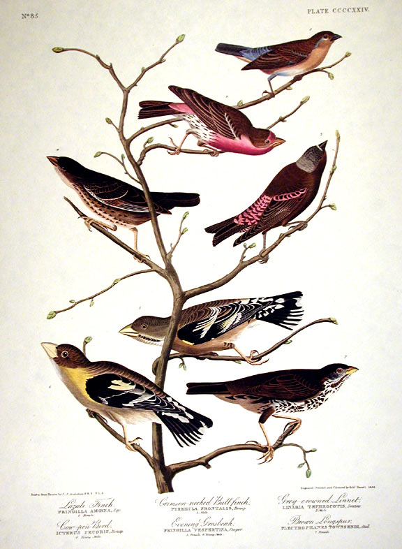 "Lazuli Finch, Crimson-necked Bull-finch, Grey-crowned Linnet, Cow-pen Bird, Evening Grosbeak, Brown Longspur. From ""The Birds of America"" (Amsterdam Edition). John James AUDUBON."