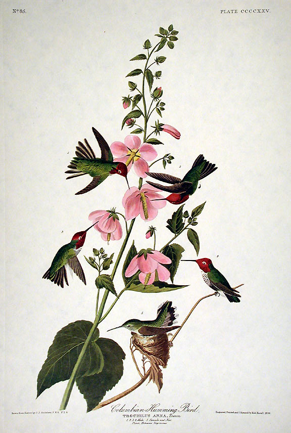 "Columbian Hummingbird. From ""The Birds of America"" (Amsterdam Edition). John James AUDUBON."