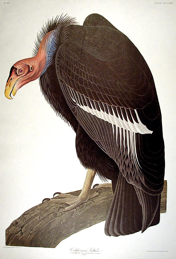 "California Vulture. From ""The Birds of America"" (Amsterdam Edition). John James AUDUBON."
