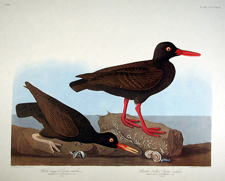 "White-legged Oyster-catcher, Slender-billed Oyster-catcher. From ""The Birds of America"" (Amsterdam Edition). John James AUDUBON."