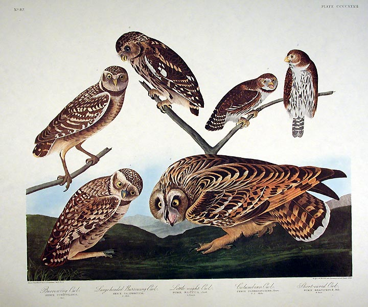 "Burrowing Owl, Large-headed Burrowing Owl, Little night Owl, Columbian Owl, Short-eared Owl. From ""The Birds of America"" (Amsterdam Edition). John James AUDUBON."