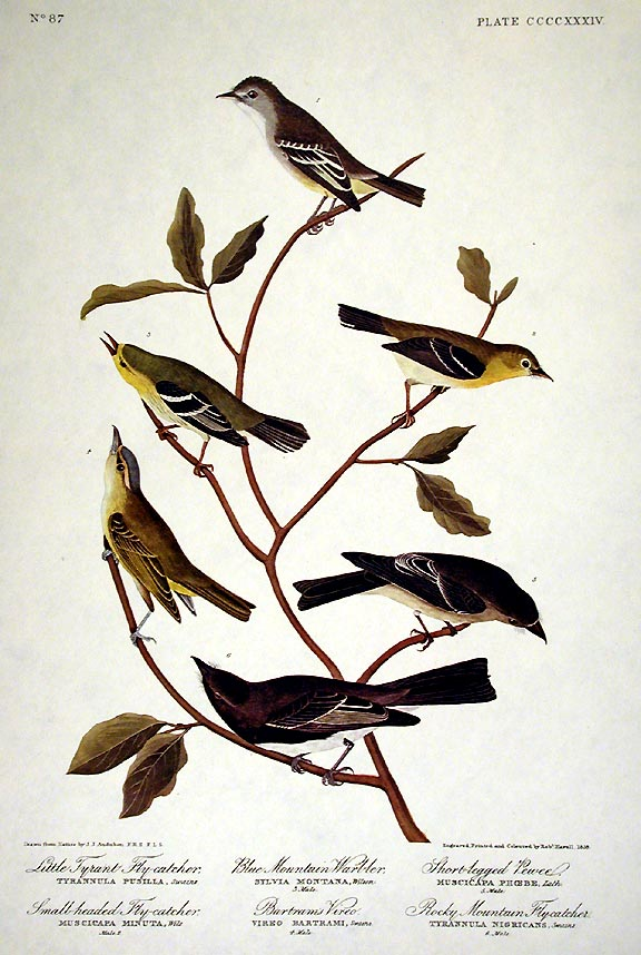 "Little Tyrant Fly-catcher, Small-headed Fly-catcher, Blue Mountain Warbler, Common Water Thrush. From ""The Birds of America"" (Amsterdam Edition). John James AUDUBON."