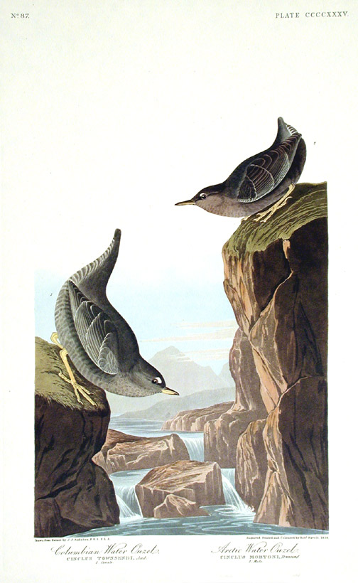 "Columbian Water Ouzel, Arctic Water Ouzel, Bartram's Vireo, Short-legged Pewee, Rocky Mountain Fly-catcher. From ""The Birds of America"" (Amsterdam Edition). John James AUDUBON."
