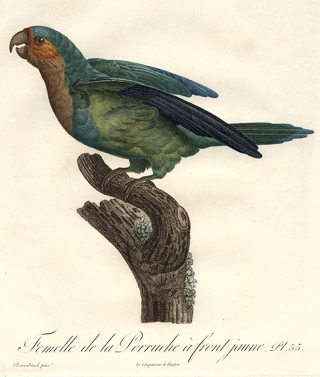 Femelle de la Perruche à front jaune [Brown-throated Conure (Aratinga pertinax)]. Jacques BARRABAND, 1767/.