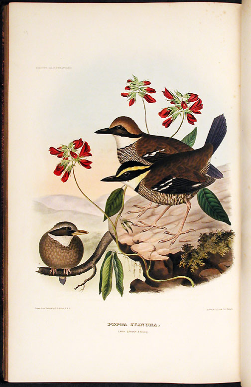A Monograph of the Pittidae, or, Family of Ant Thrushes. New York: D. Appleton and Company, 1863. Daniel Giraud ELLIOT.