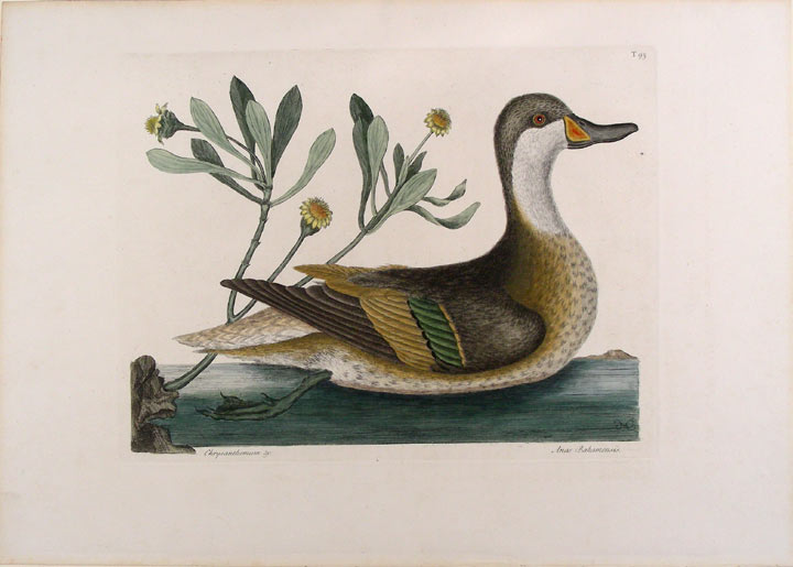 Anas Bahamensis [White-Cheeked Pintail]. Mark CATESBY.