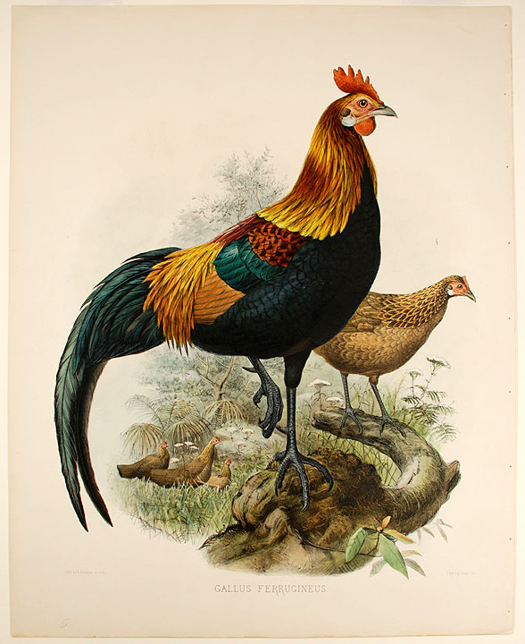 Gallus Ferrugineus [Red Jundgle-Fowl]. Joseph WOLF.