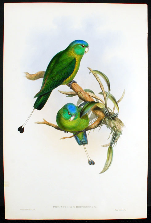 Blue-Headed Racket-Tailed Parrot] Prioniturus Discosurus. John GOULD.