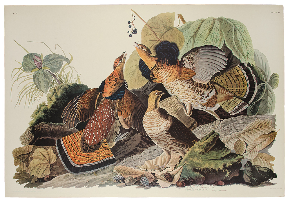 Ruffed Grouse. John James AUDUBON.