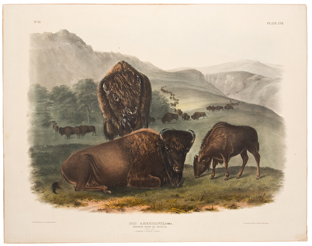 American Bison or Buffalo. John James AUDUBON.