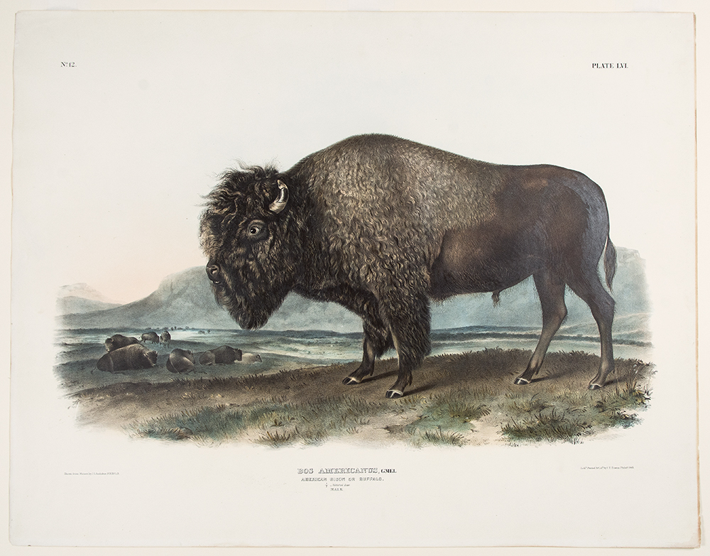 American Bison or Buffalo ... Male. John James AUDUBON.