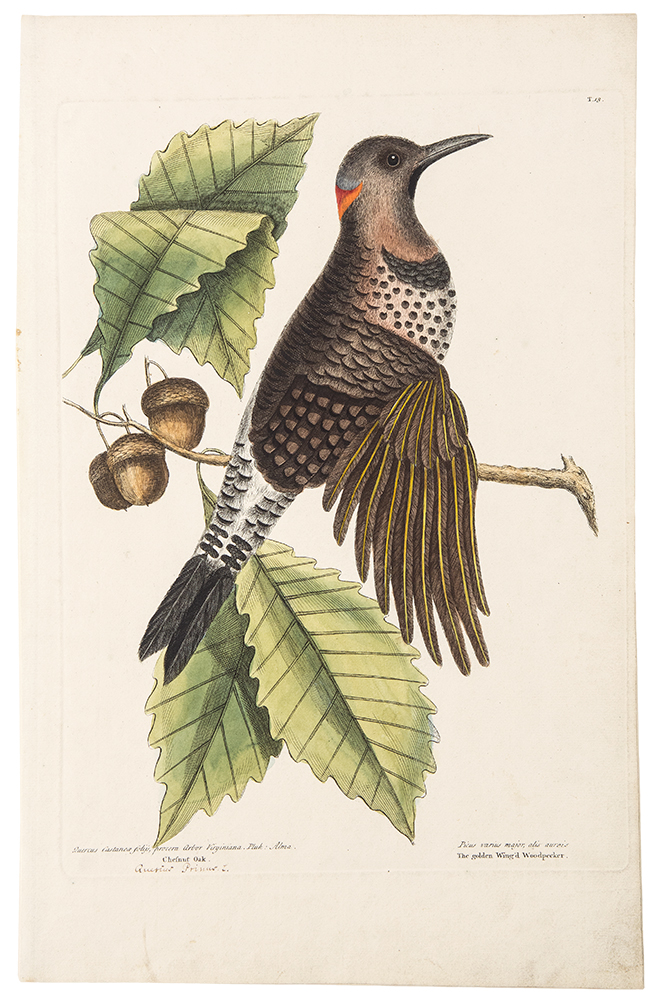The Golden Wing'd Woodpecker. Mark CATESBY.