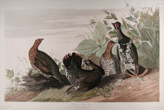 Spotted or Canada Grouse [Spruce Grouse]. John James AUDUBON.
