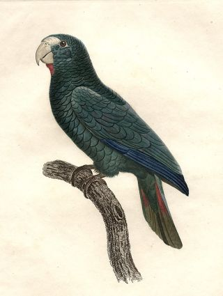Perroquet à face rouge male (Hispaniolan Amazon [Amazona ventralis])]. Jacques BARRABAND, 1767/