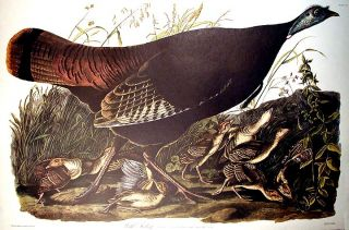 "Wild Turkey, Female and Young. From ""The Birds of America"" (Amsterdam Edition). John James AUDUBON."