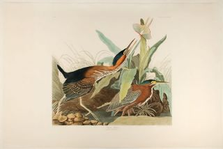 Green Heron. John James AUDUBON