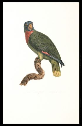 Le Perroquet Bouquet (Red-necked Amazon [Amazona arausiaca])]. Jacques BARRABAND, 1767/