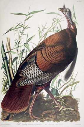 "Wild Turkey, Male. From ""The Birds of America"" (Amsterdam Edition). John James AUDUBON."