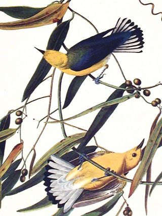 """Prothonotary Warbler. From """"The Birds of America"""" (Amsterdam Edition)"""
