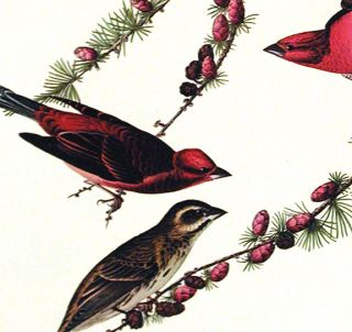 "Purple Finch. From ""The Birds of America"" (Amsterdam Edition)"