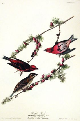 "Purple Finch. From ""The Birds of America"" (Amsterdam Edition). John James AUDUBON"