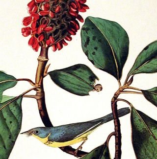 "Bonaparte's Flycatcher. From ""The Birds of America"" (Amsterdam Edition)"