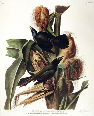 "Purple Grakle or Common Crow Backbird. From ""The Birds of America"" (Amsterdam Edition). John..."
